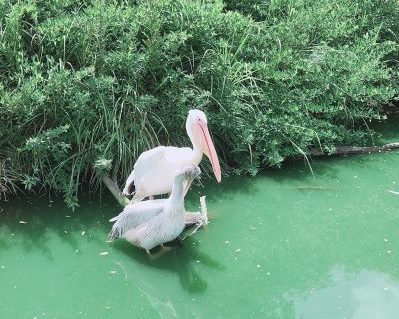 掛川花鳥園のペリカンとハクチョウ